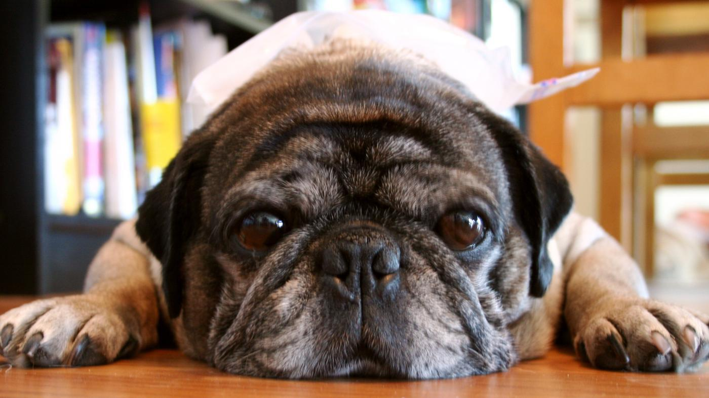 What Are Pug Allergies?