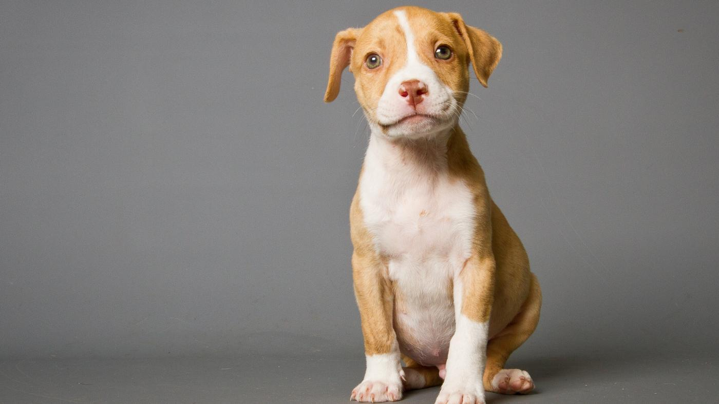 What Is a Purple Ribbon Pit Bull?