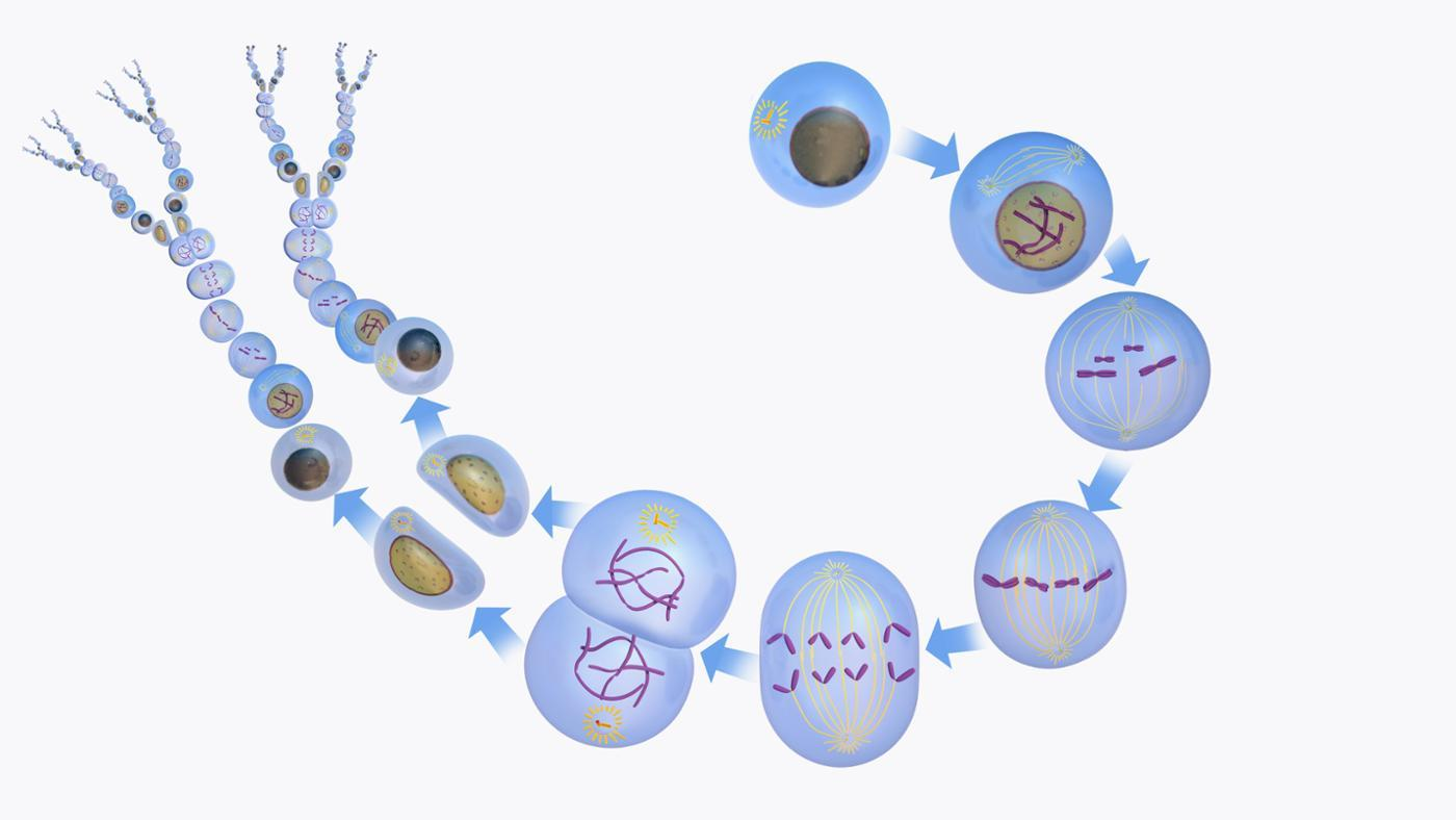 What Is the Purpose of Cell Division?