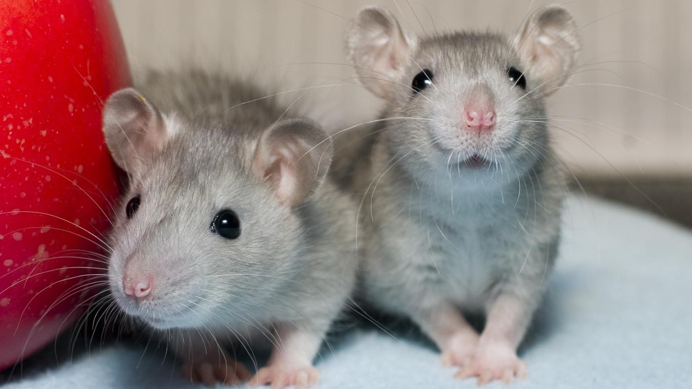 What Do Rats Eat?