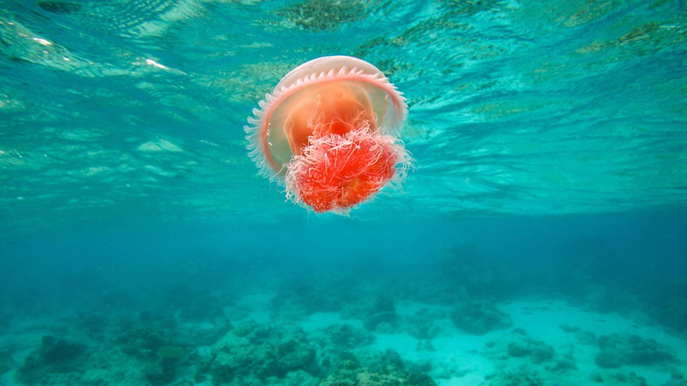 What Is a Red Jellyfish?