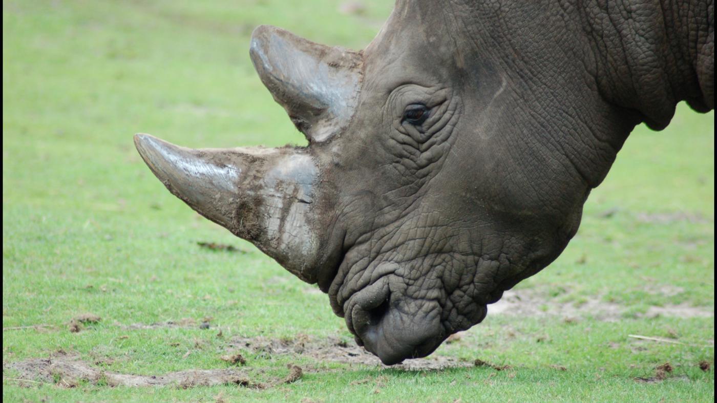 What Do Rhinoceroses Eat?