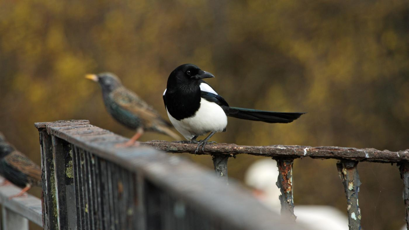 How Do You Get Rid of Magpies?