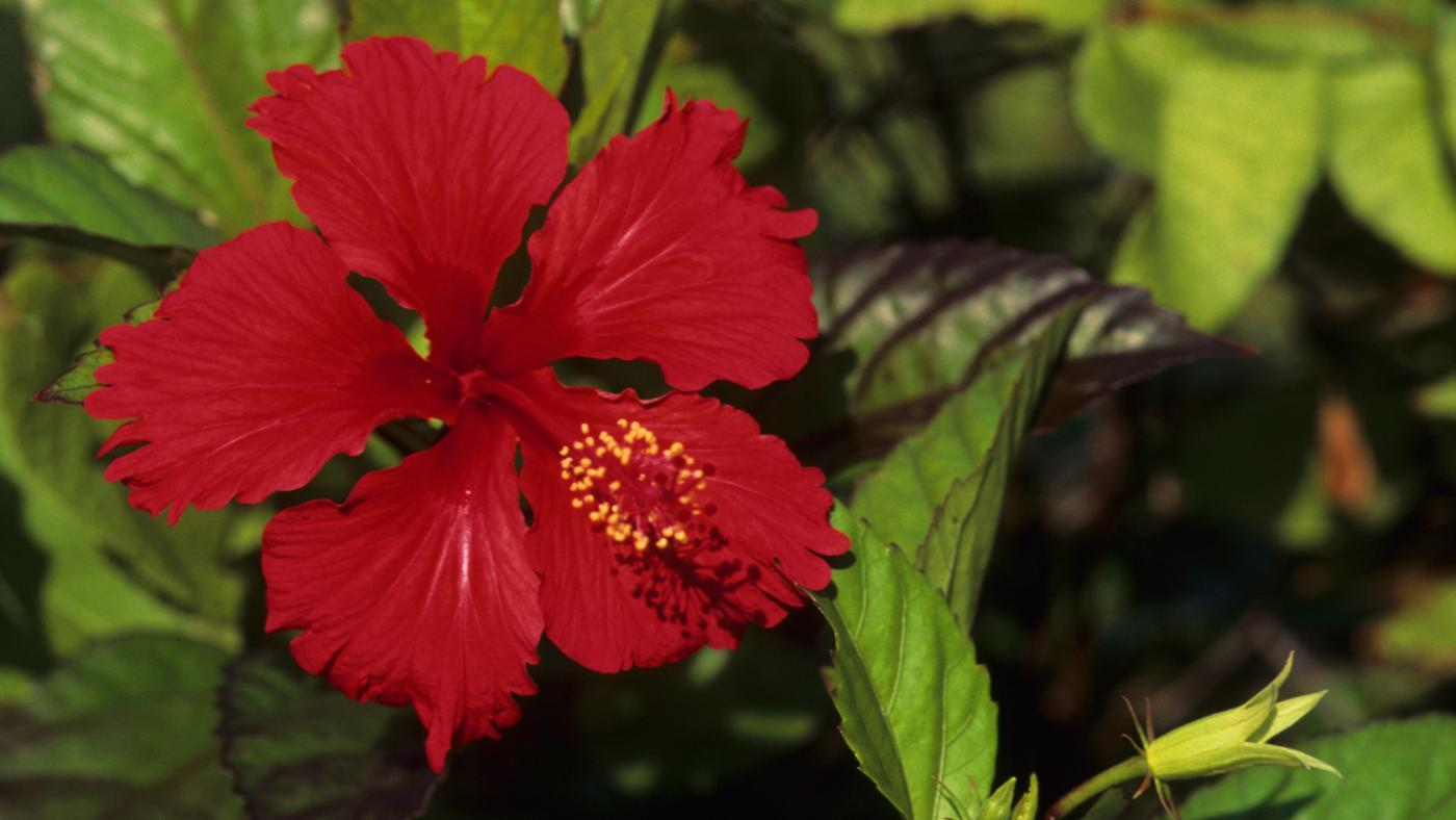 When Should You Plant a Hibiscus?