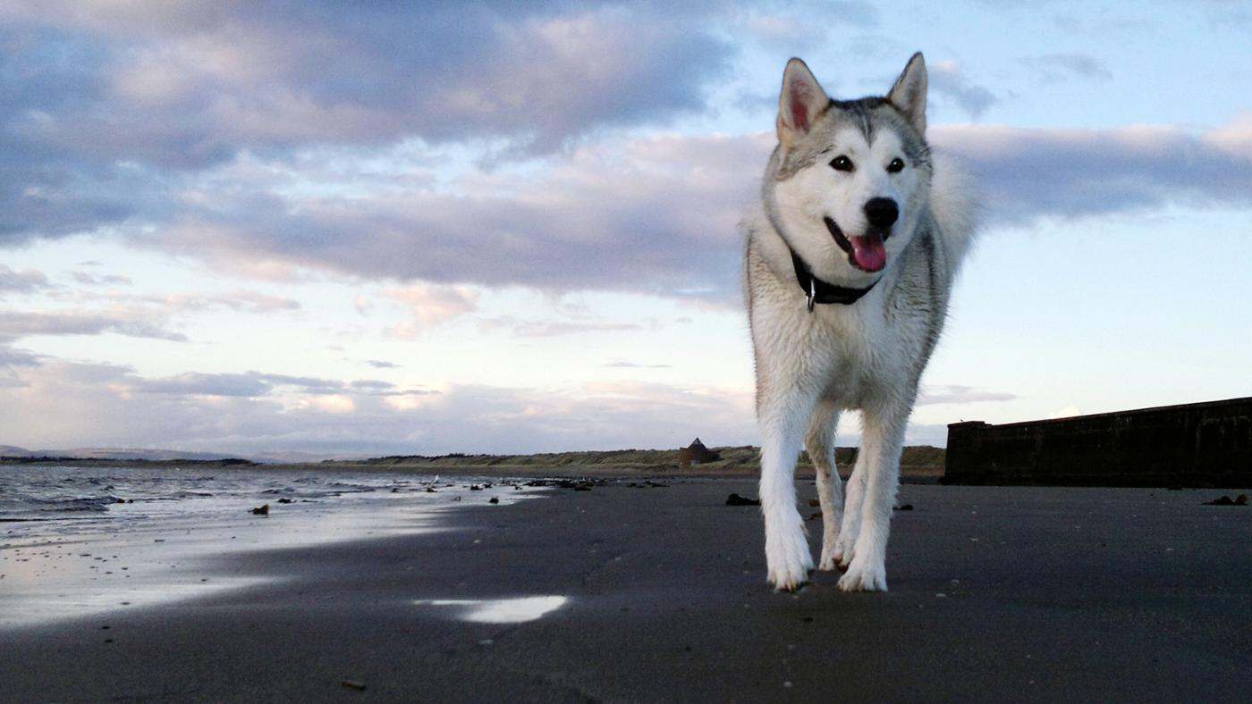 What Are Some Facts About Siberian Huskies?