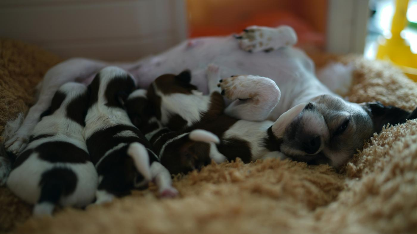 What Are the Signs of Pregnancy in a Dog?