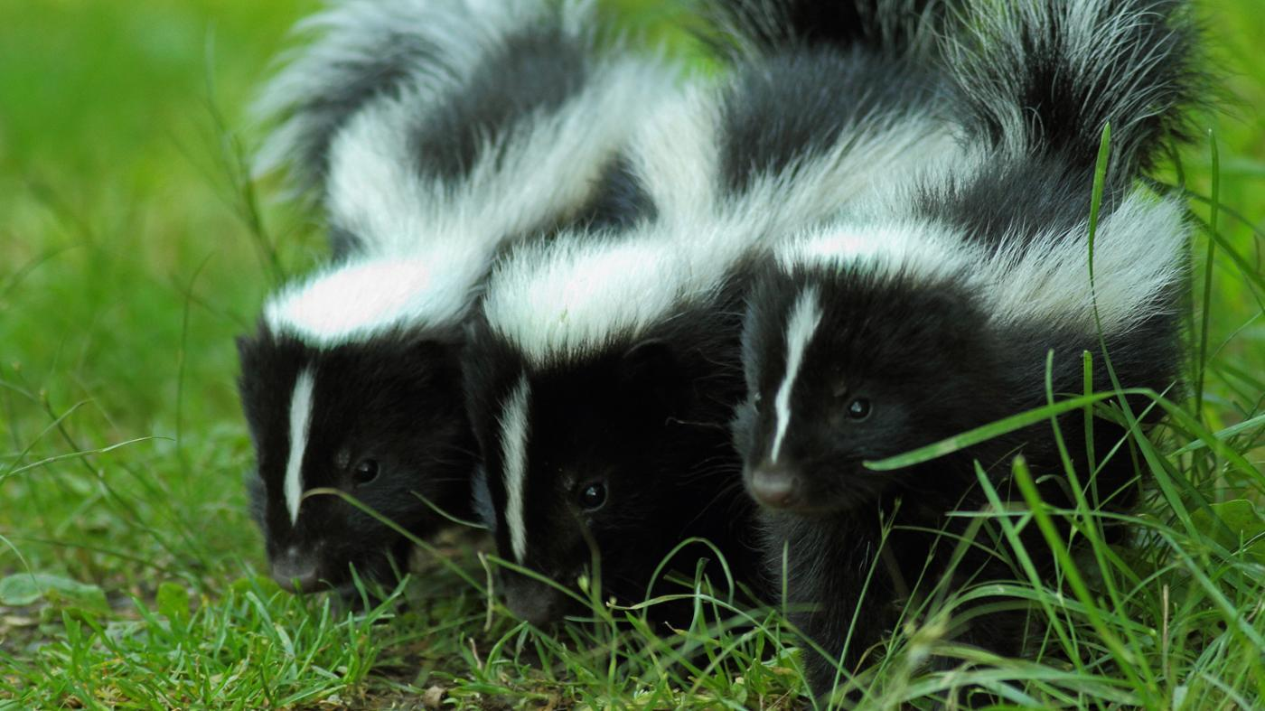 Why Are Skunks Black and White?