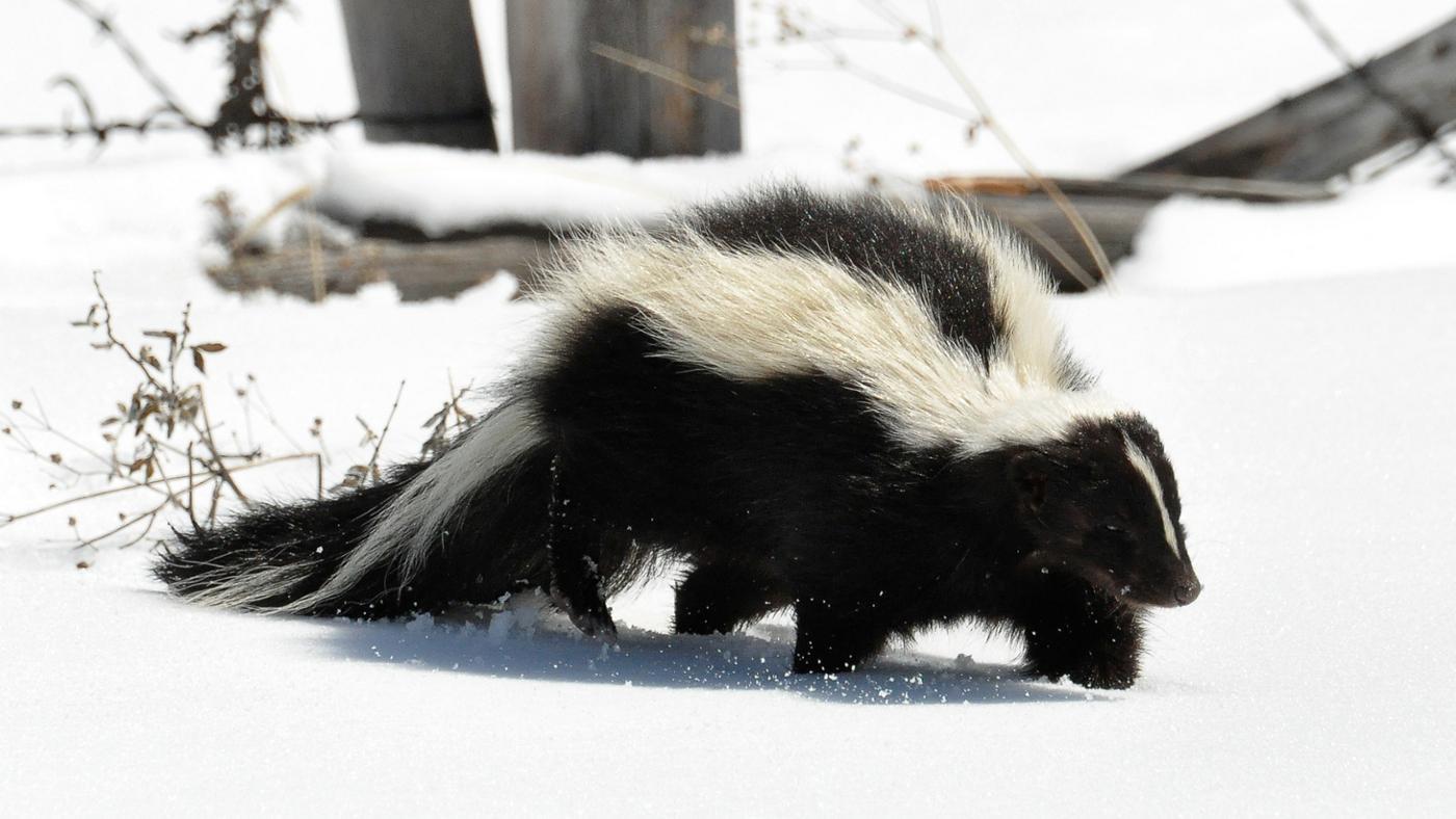 Do Skunks Hibernate?