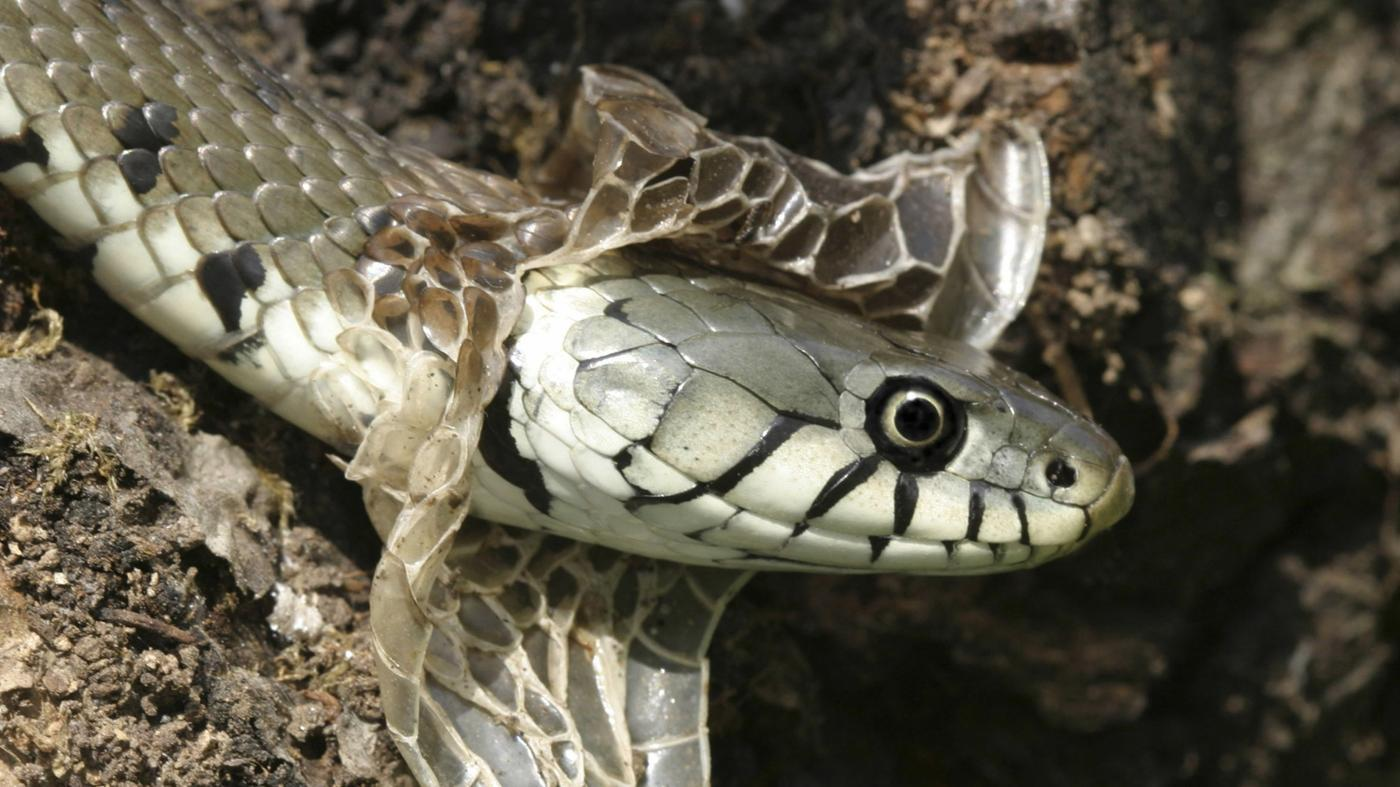 How Often Do Snakes Shed?