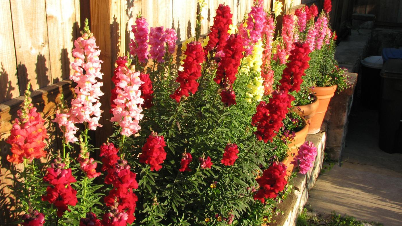 Are Snapdragons Perennials?