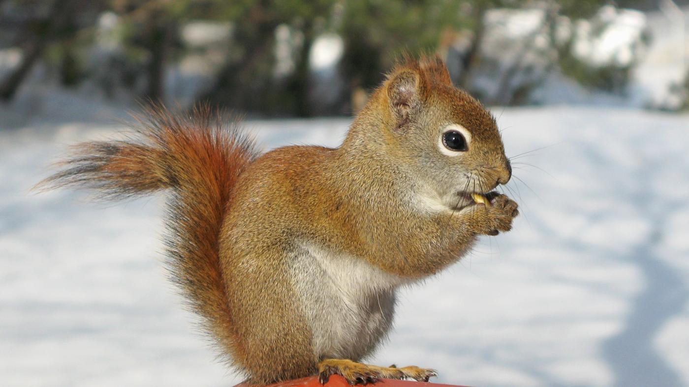 Where Do Squirrels Sleep in Winter?