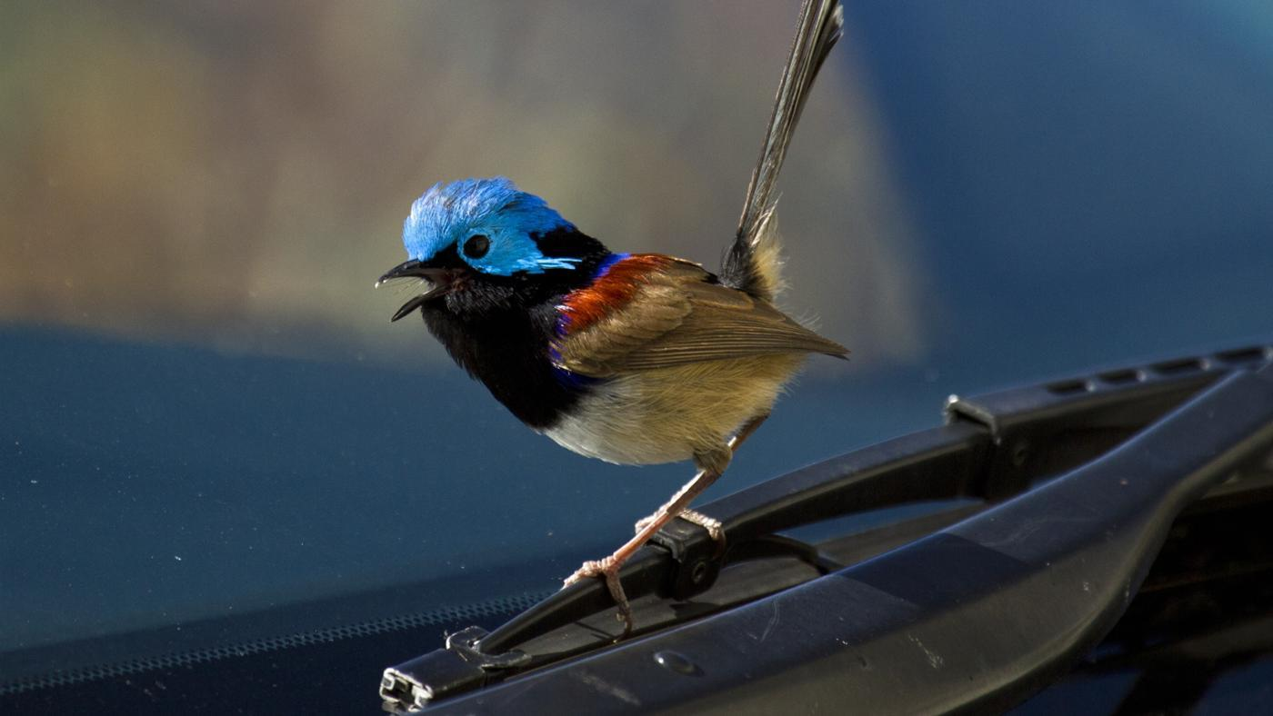 What Is the Superstition About a Bird Hitting a Windshield?