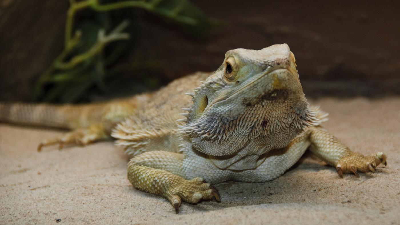 How Do You Teach a Bearded Dragon Tricks?