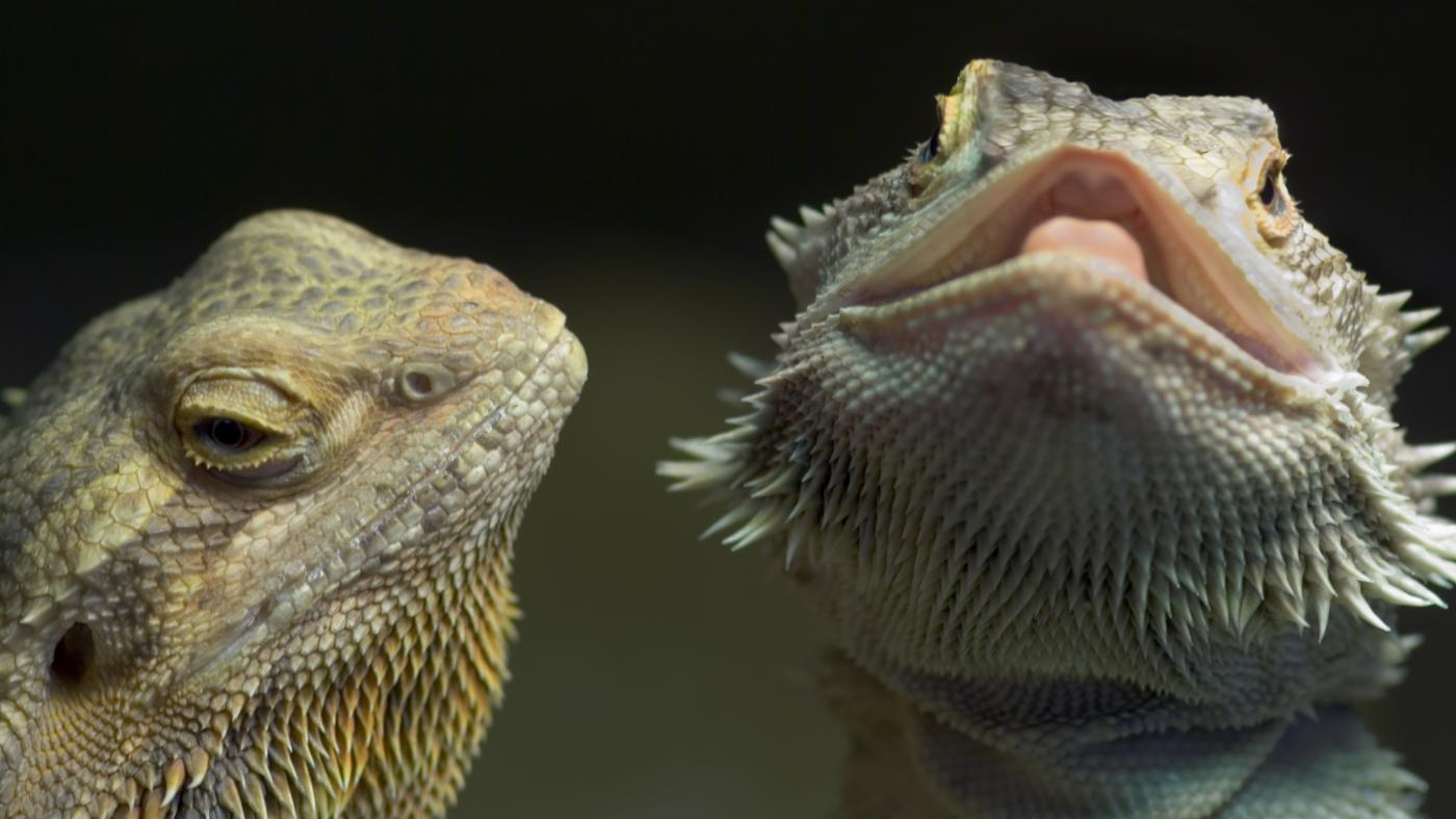 How Do You Tell If a Bearded Dragon Is Sick?