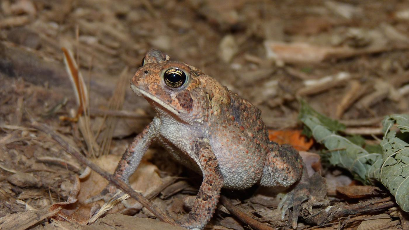 How Do You Tell a Male Eastern American Toad From a Female?