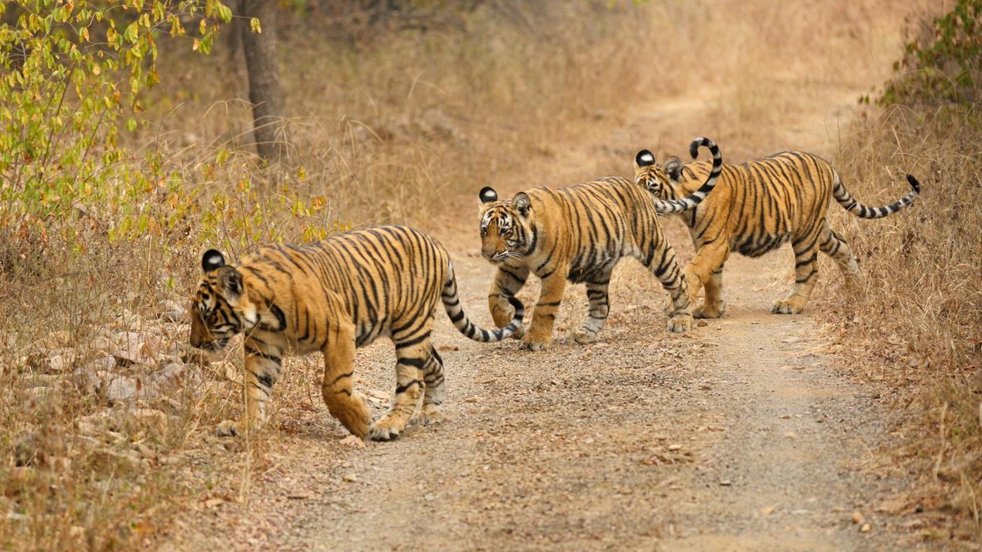 Do Tigers Live in Tropical Rainforests?