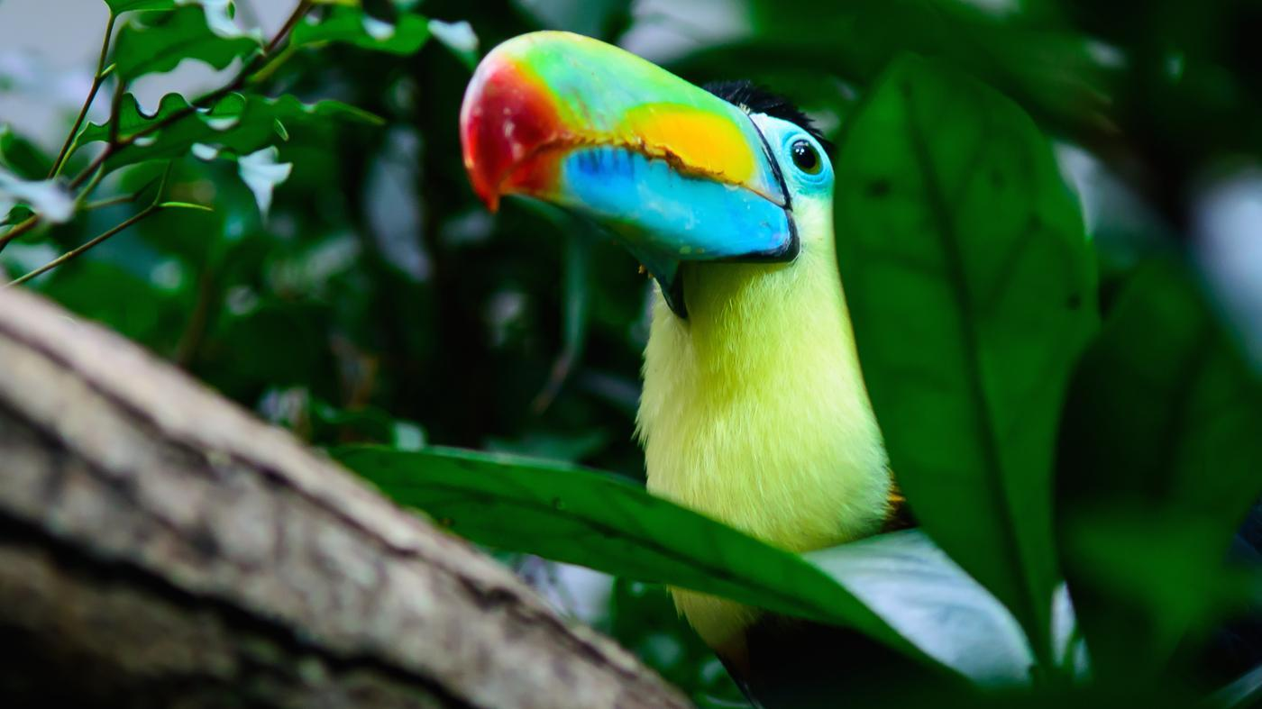 Where Does a Toucan Live?