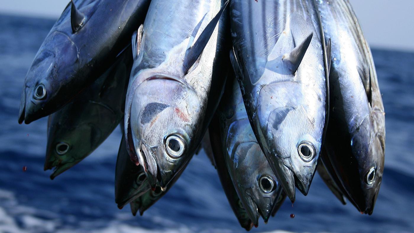 What Do Tuna Fish Eat?