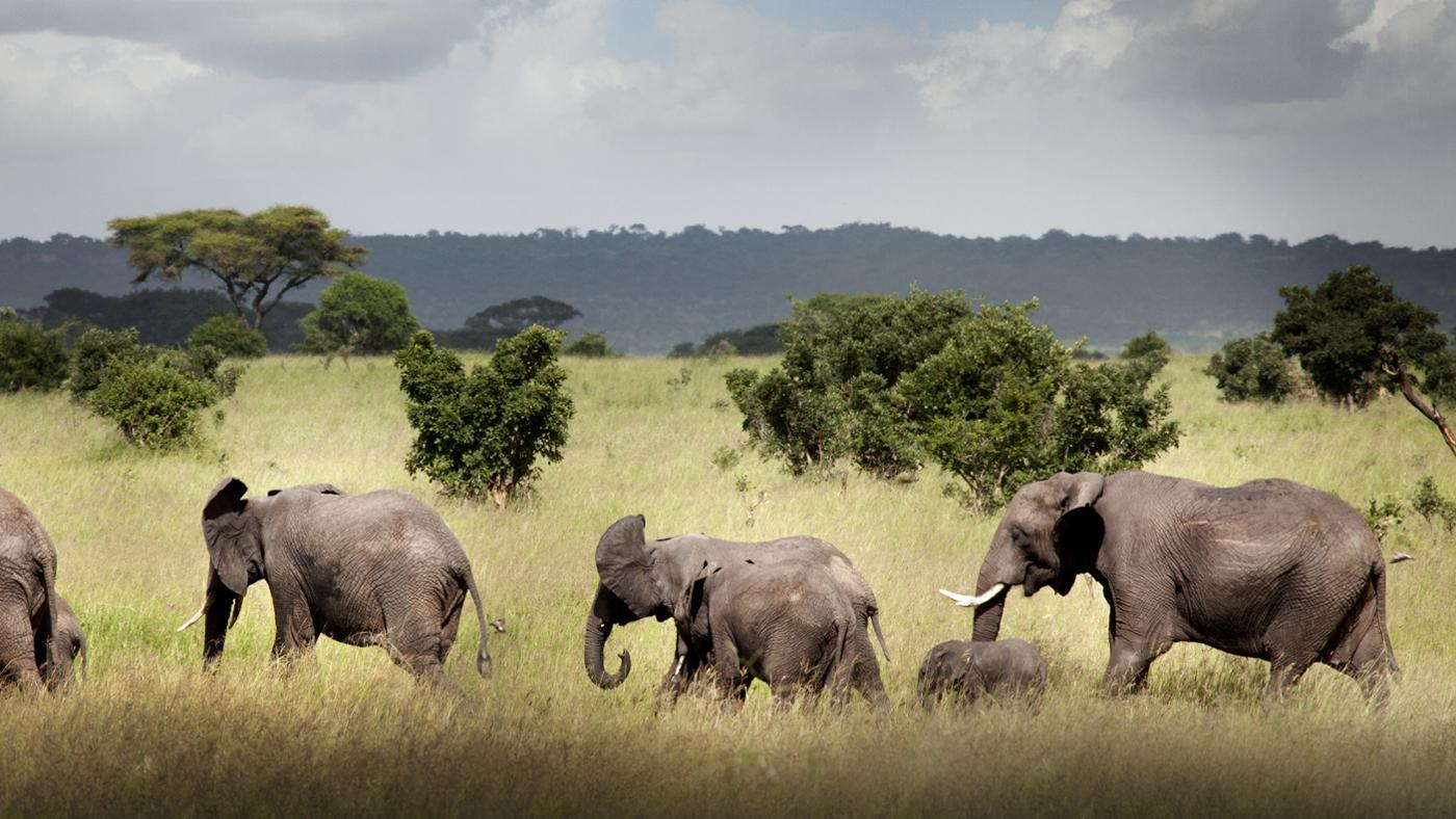 What Are the Two Species of Elephants?