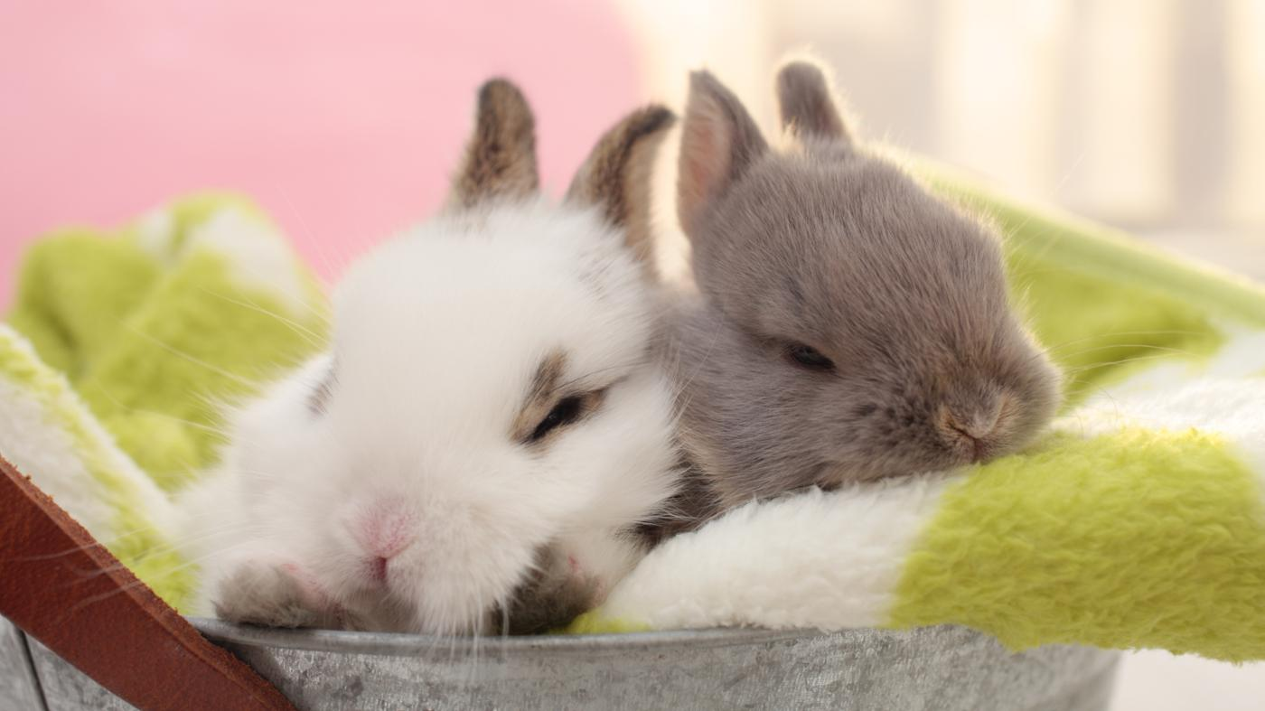 What Are the Types of Pet Rabbits?
