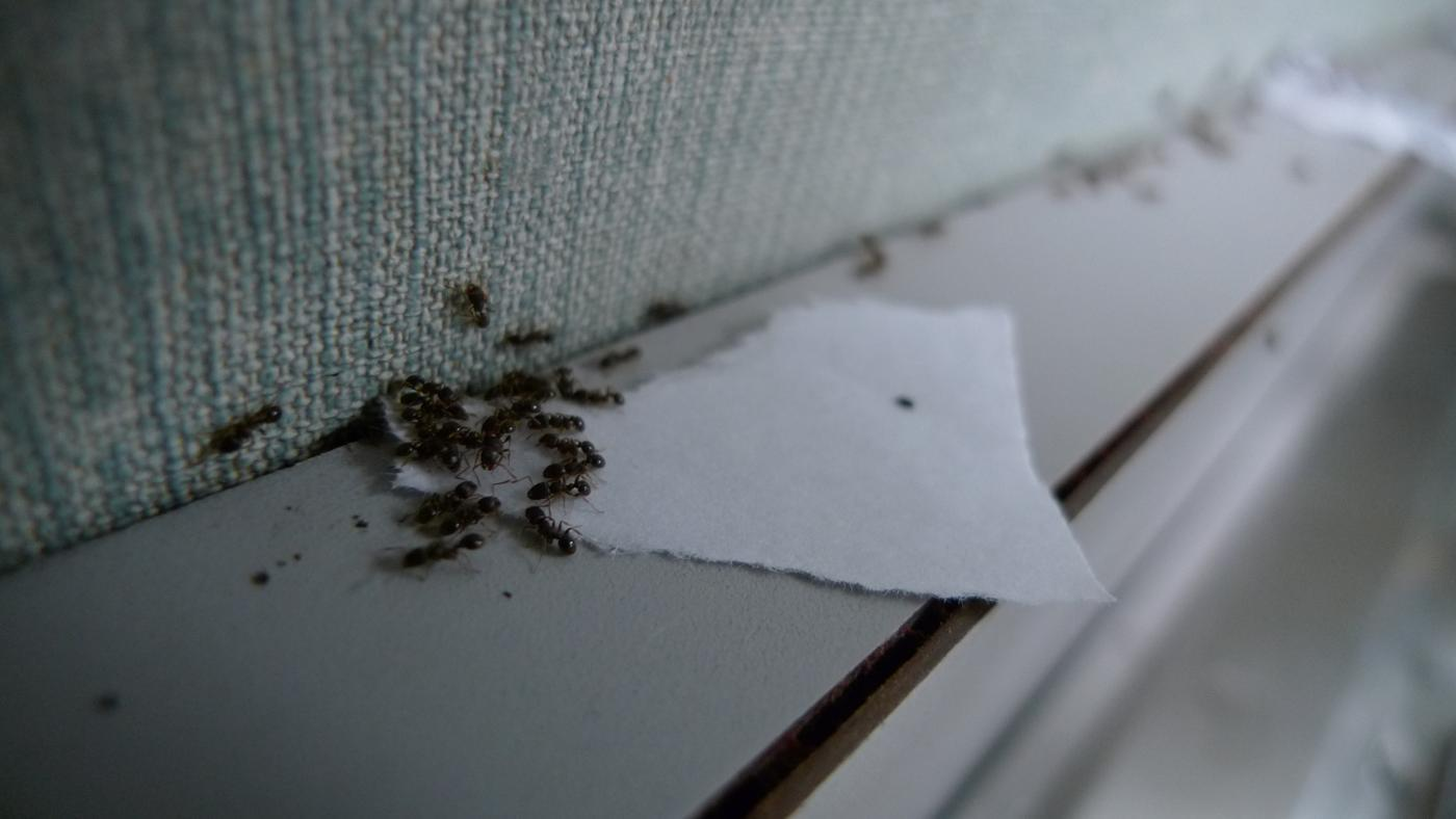 How Do You Use a Mixture of Baking Soda and Icing Sugar to Get Rid of Ants?