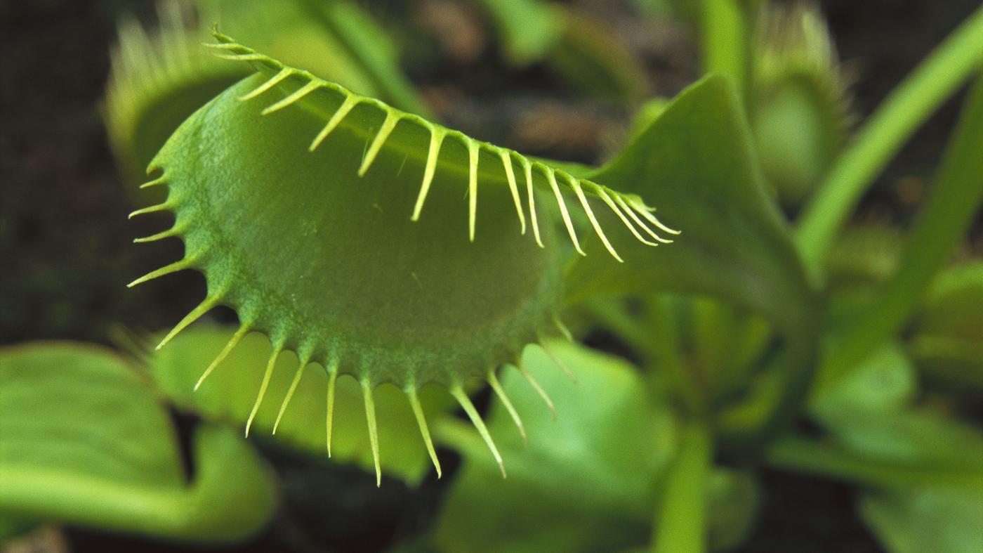 Where Do Venus Flytraps Grow Naturally?