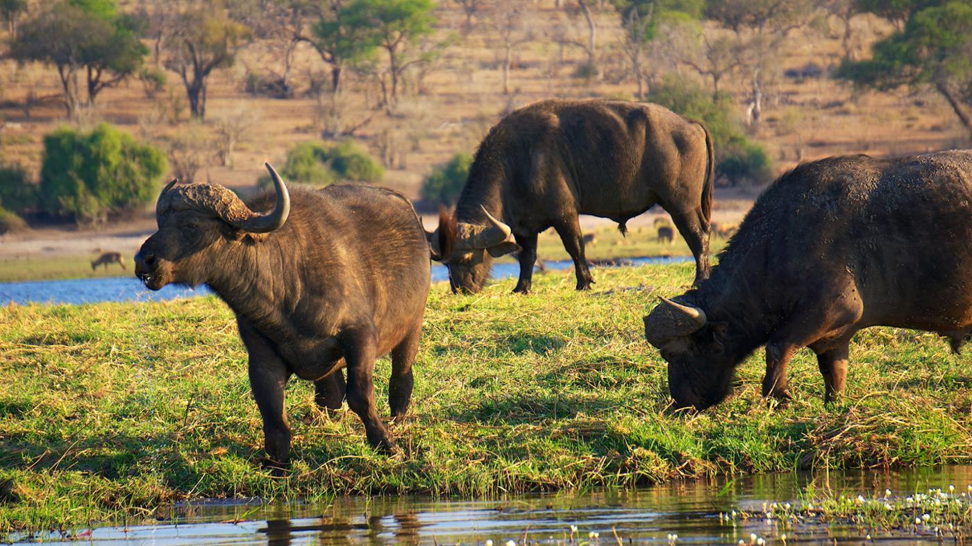 What Do Water Buffalo Eat?