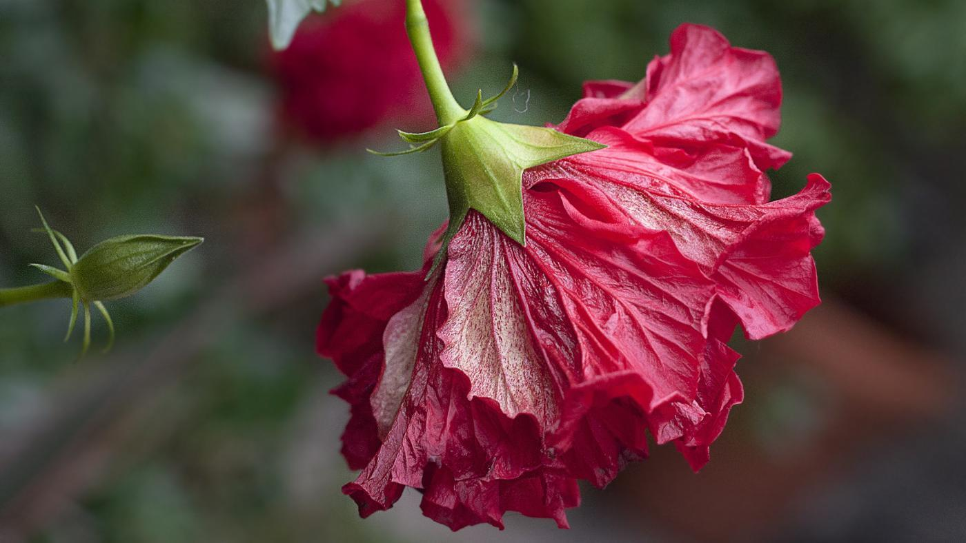 How Often Do You Water a Hibiscus Plant?