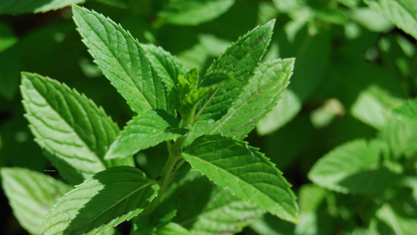 What Is the Best Way to Store Fresh Mint?