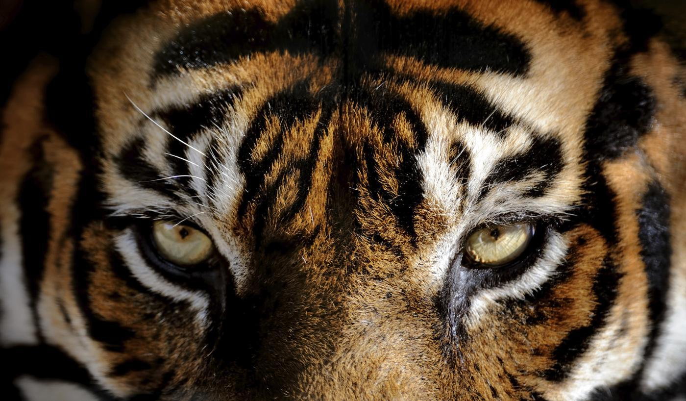 What Color Eyes Do Tigers Have?
