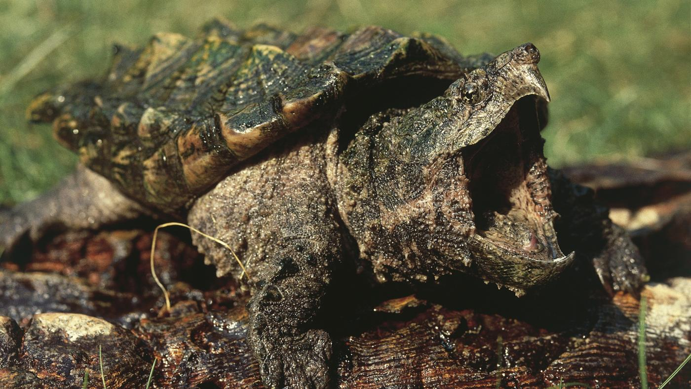 What Do Alligator Snapping Turtles Eat?