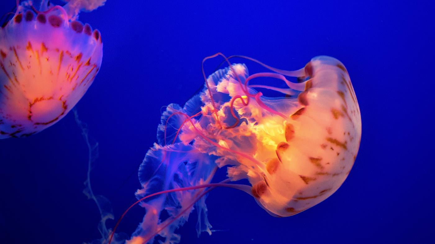 What Are Some Predators of the Jellyfish?