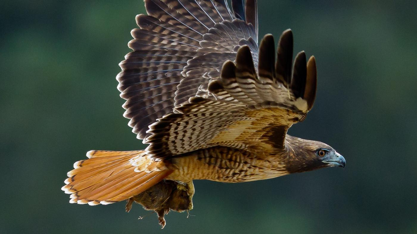 What Is a Hawk's Habitat?