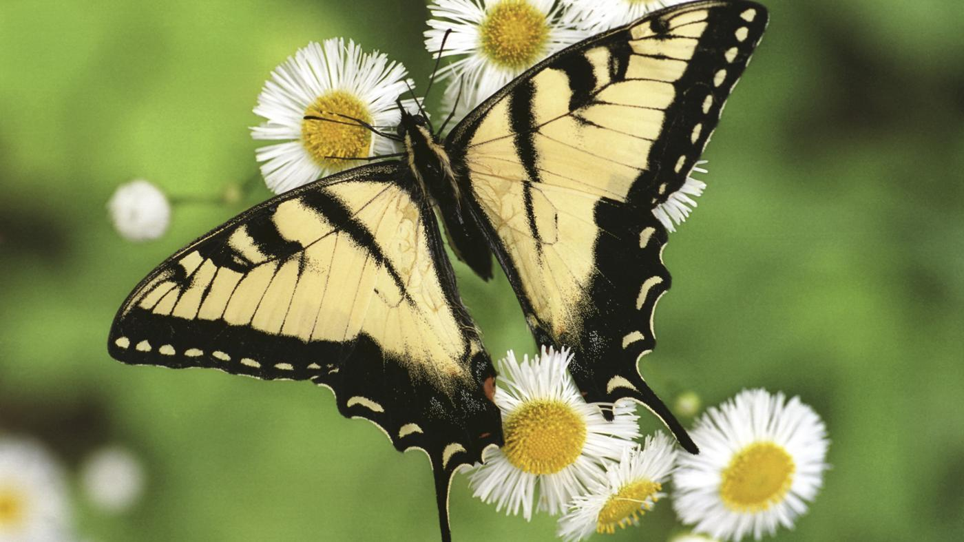 What Is the Lifespan of a Butterfly?