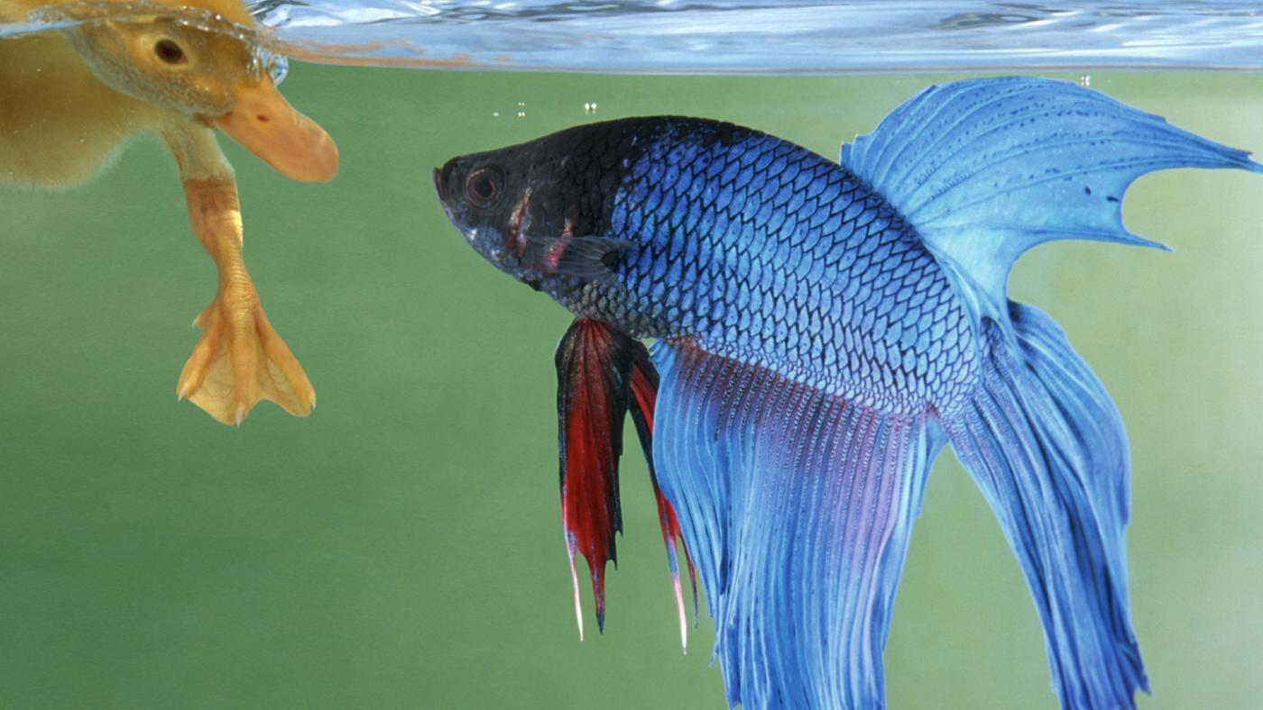 Where Do Betta Fish Live?