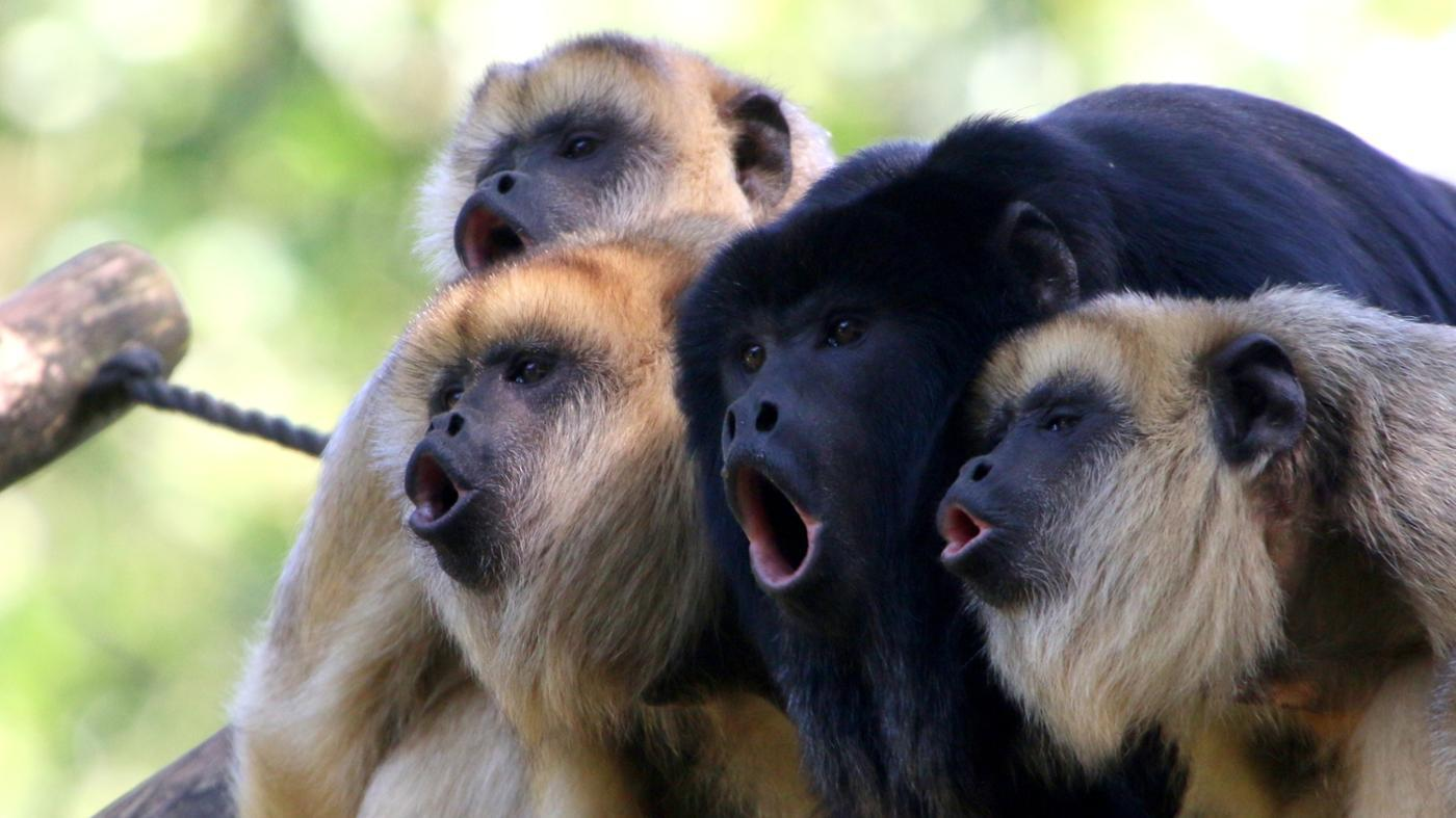 Where Do Wild Howler Monkeys Live?