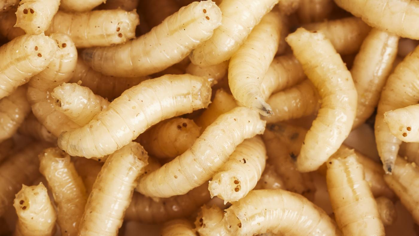 Where Do Maggots Come From?