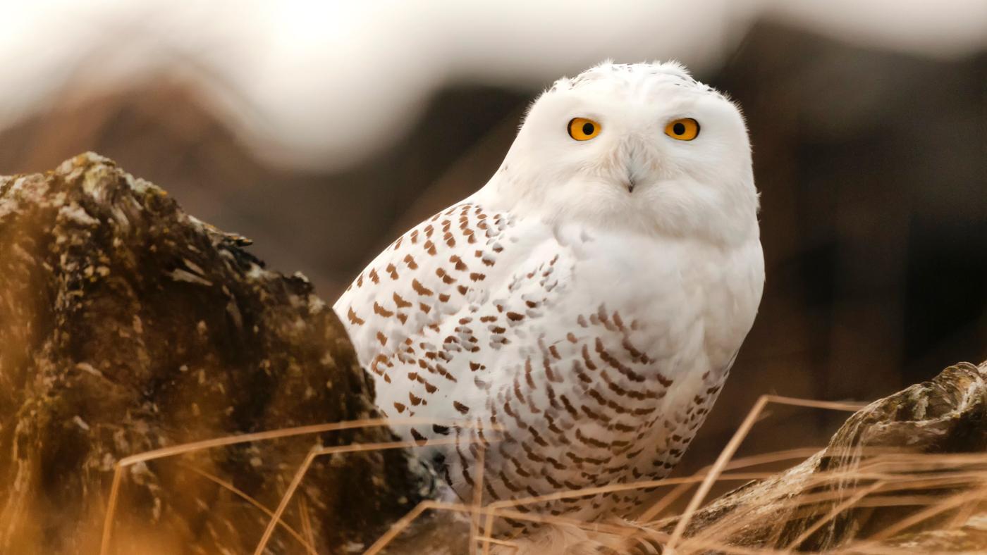 Where Do Snowy Owls Live?