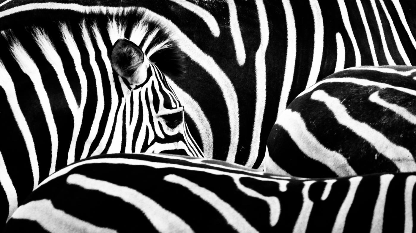 Where Do Zebras Live?