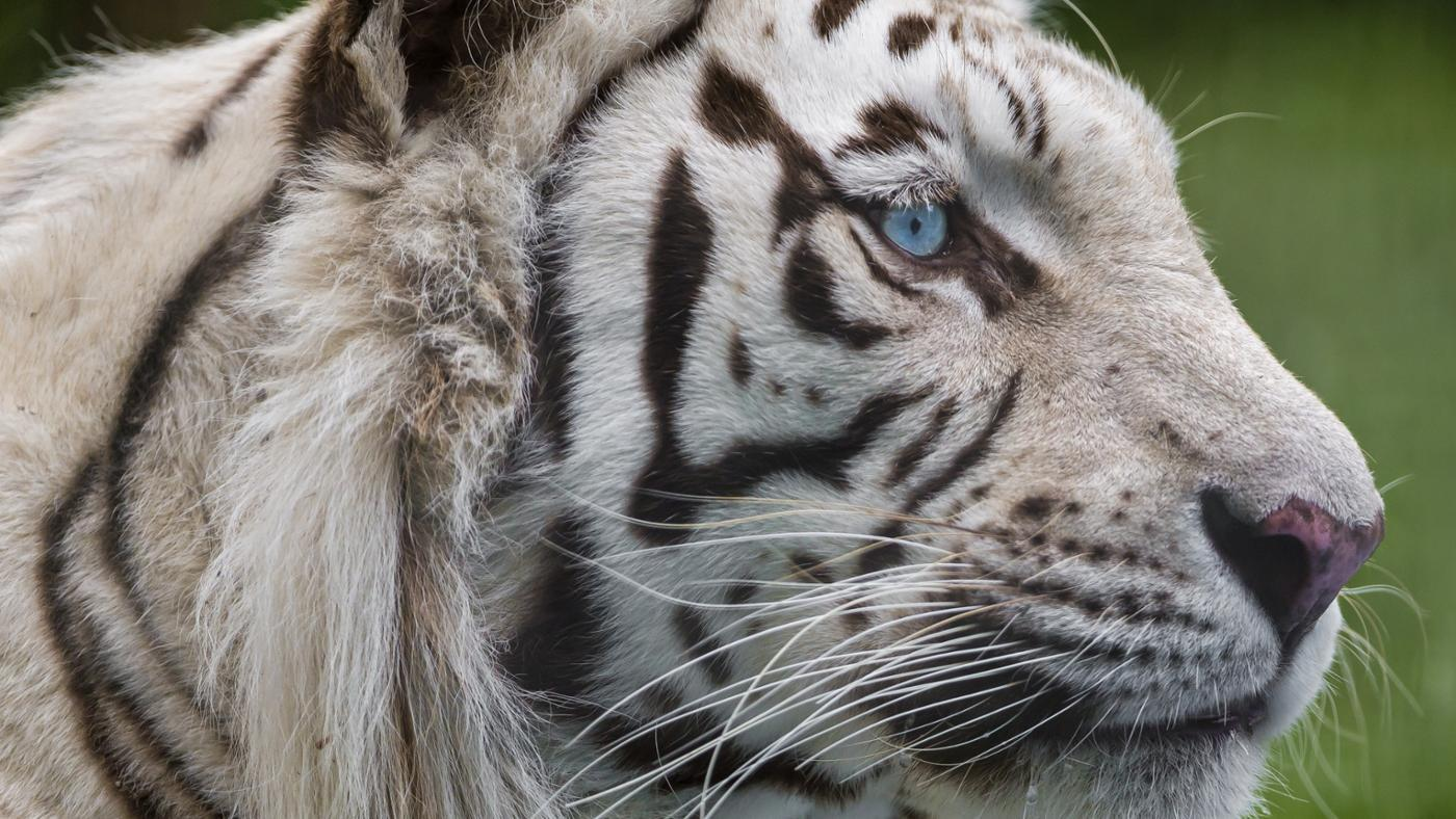 What Is the White Tiger's Food Web?