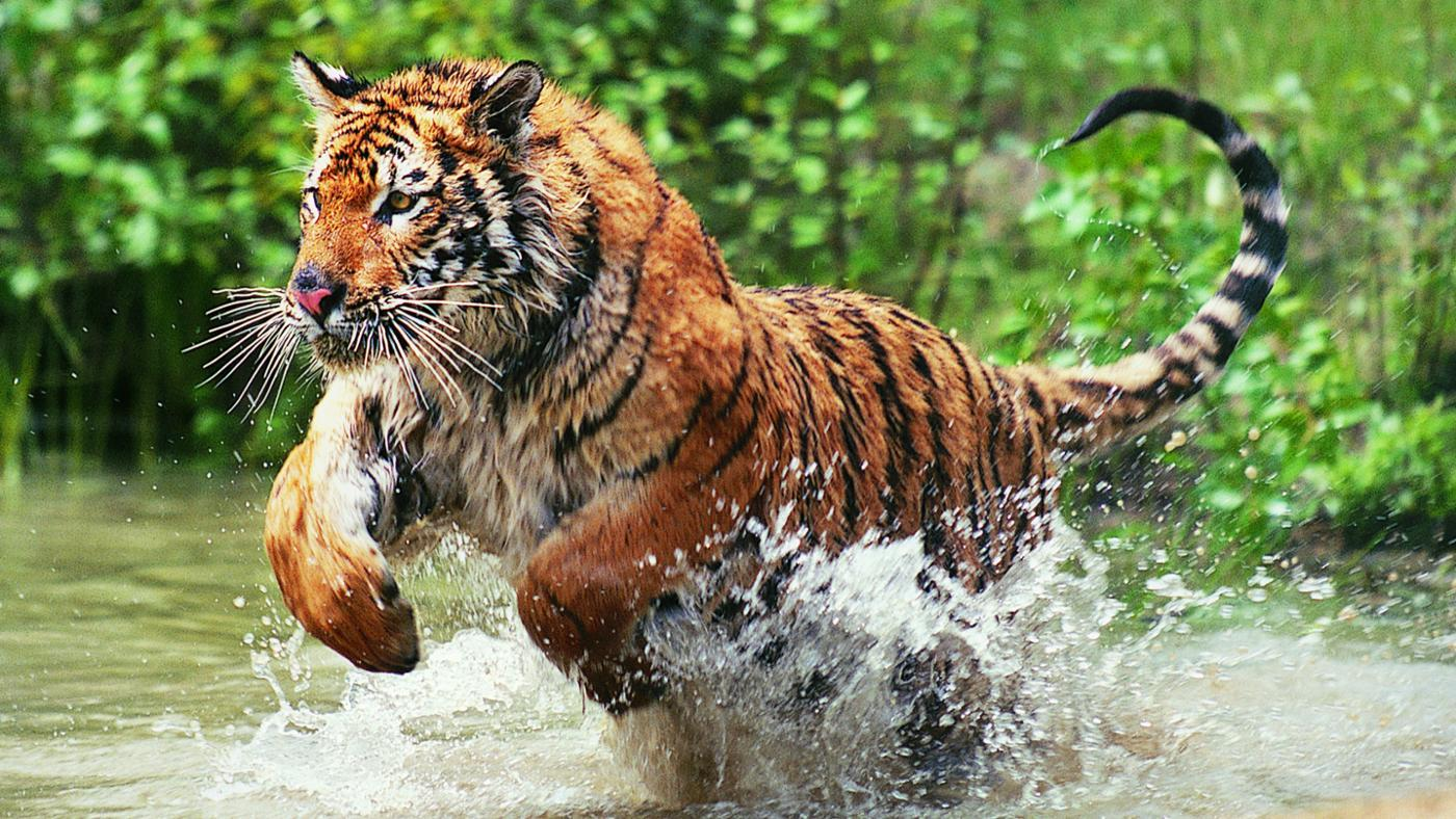 Why Are Bengal Tigers Endangered?