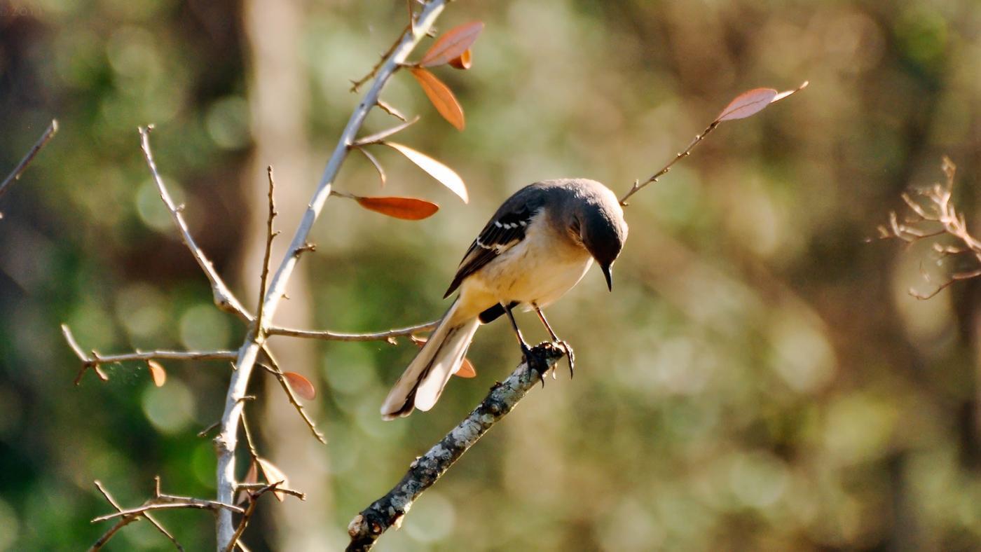 Why Are Mockingbirds Called Mockingbirds?