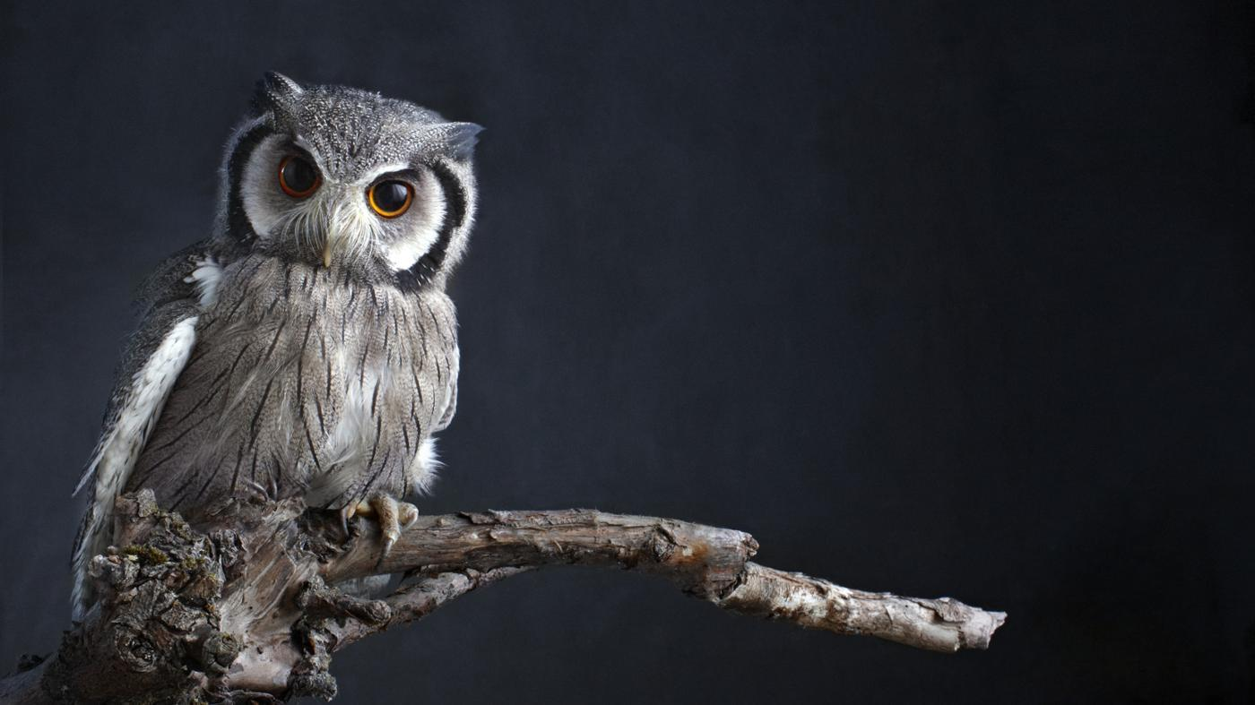 Why Are Owls Seen As Wise?