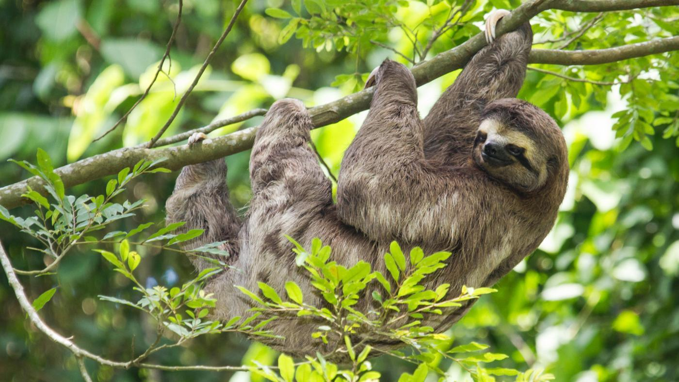 Why Are Sloths Endangered?