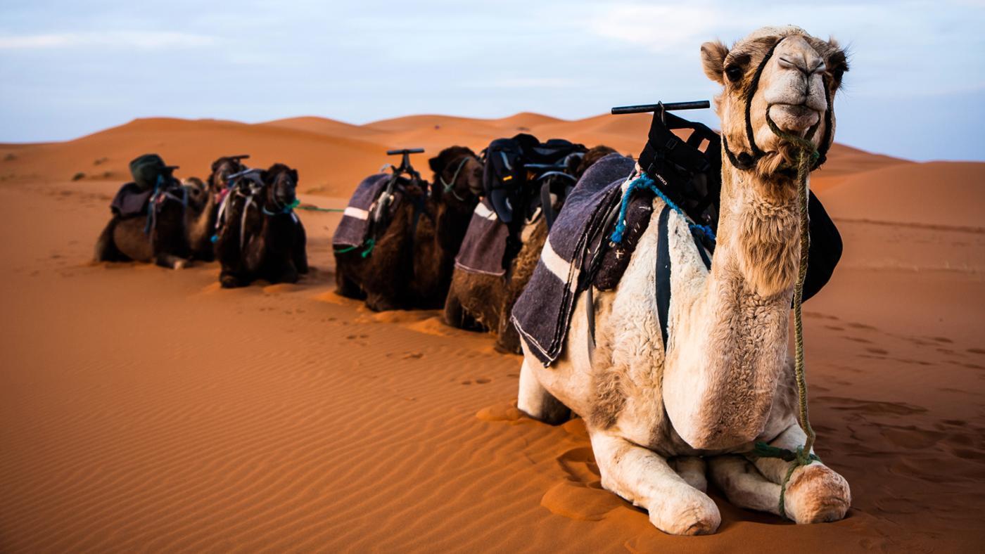 Why Do Camels Spit?