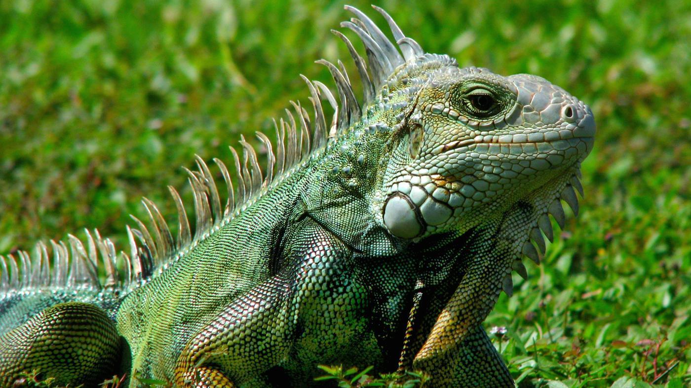 Why Do Iguanas Bob Their Heads?