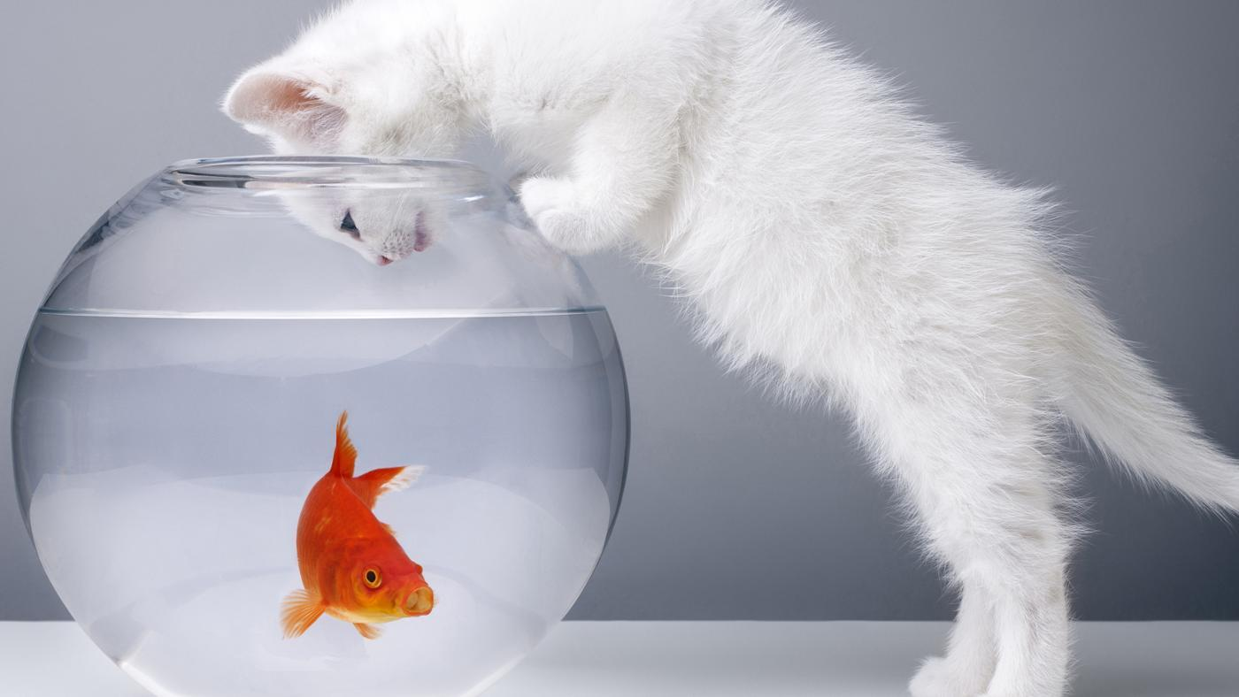 Why Do Goldfish Swim at the Bottom of the Tank?