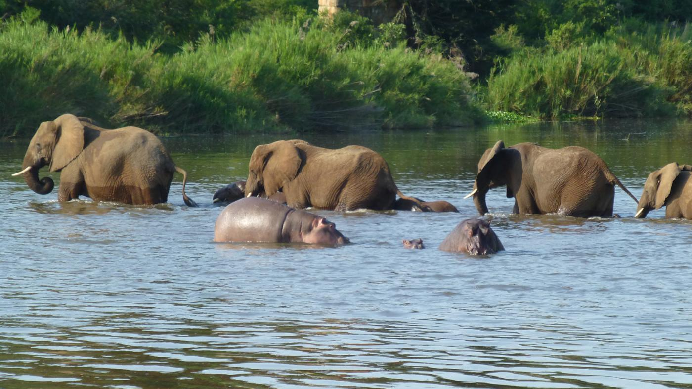 Who Wins in a Hippo Versus Elephant Fight?