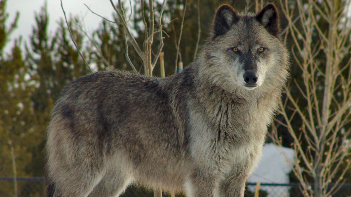 How Do Wolves Adapt?