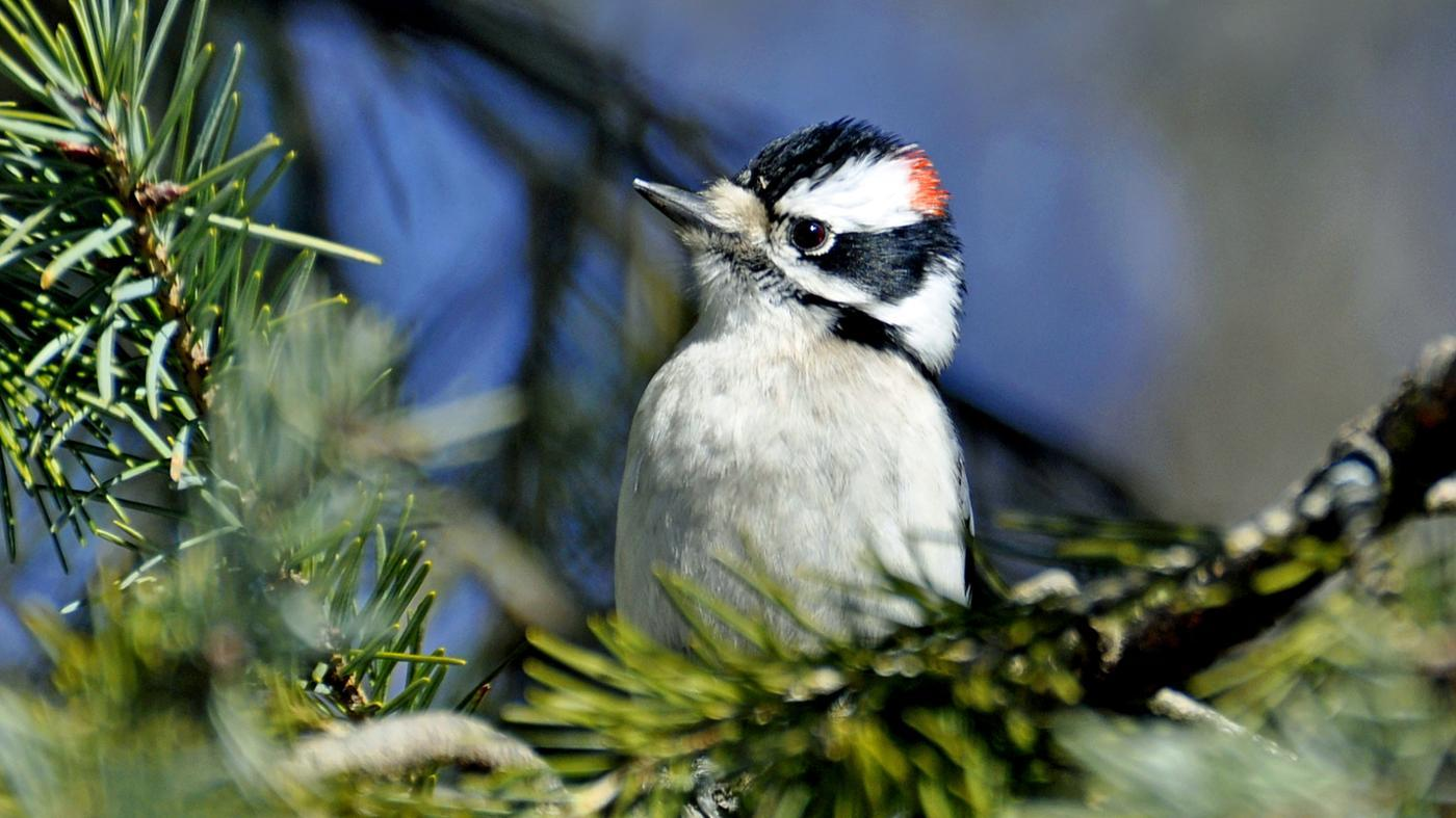 What Does a Woodpecker Eat?